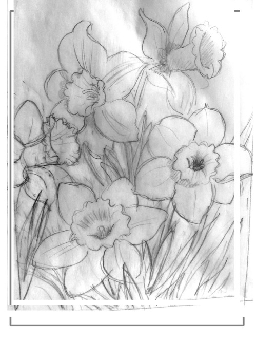 pencil drawing for Daffodils